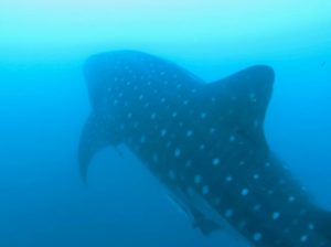 Whale shark at Manta Bowl, Donsol, Philippines