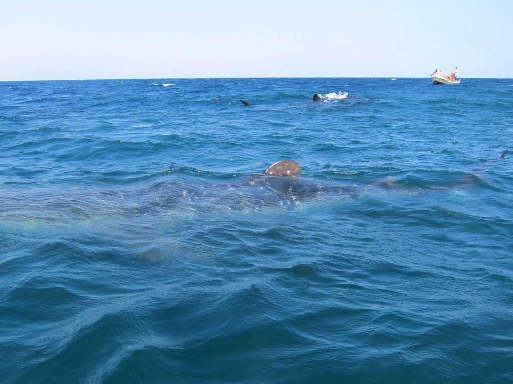 Whale sharks view from the boat, Djibouti
