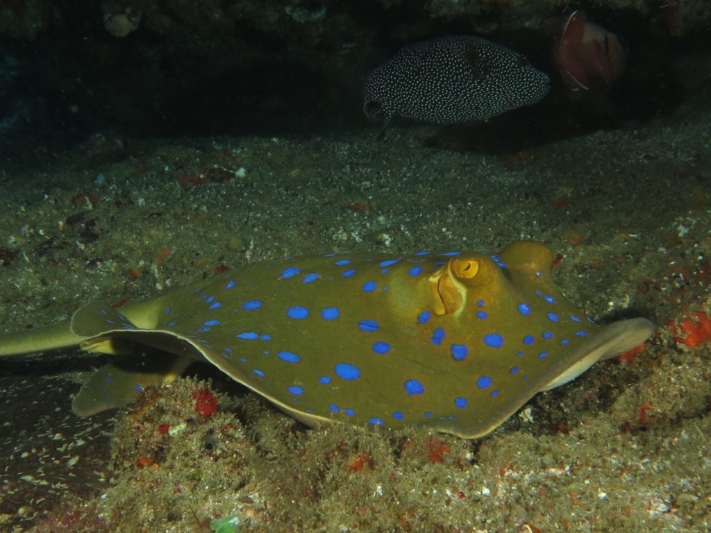 Blue spotted ray, Ponta do Ouro, Mozambique