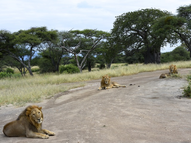 Three lions on the road in Tarangire, Tanzania