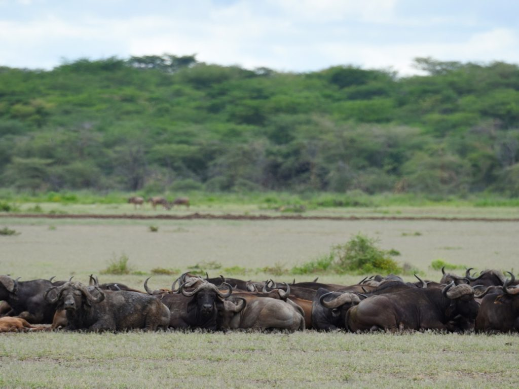 Buffalos in Lake Manyara national park, Tanzania