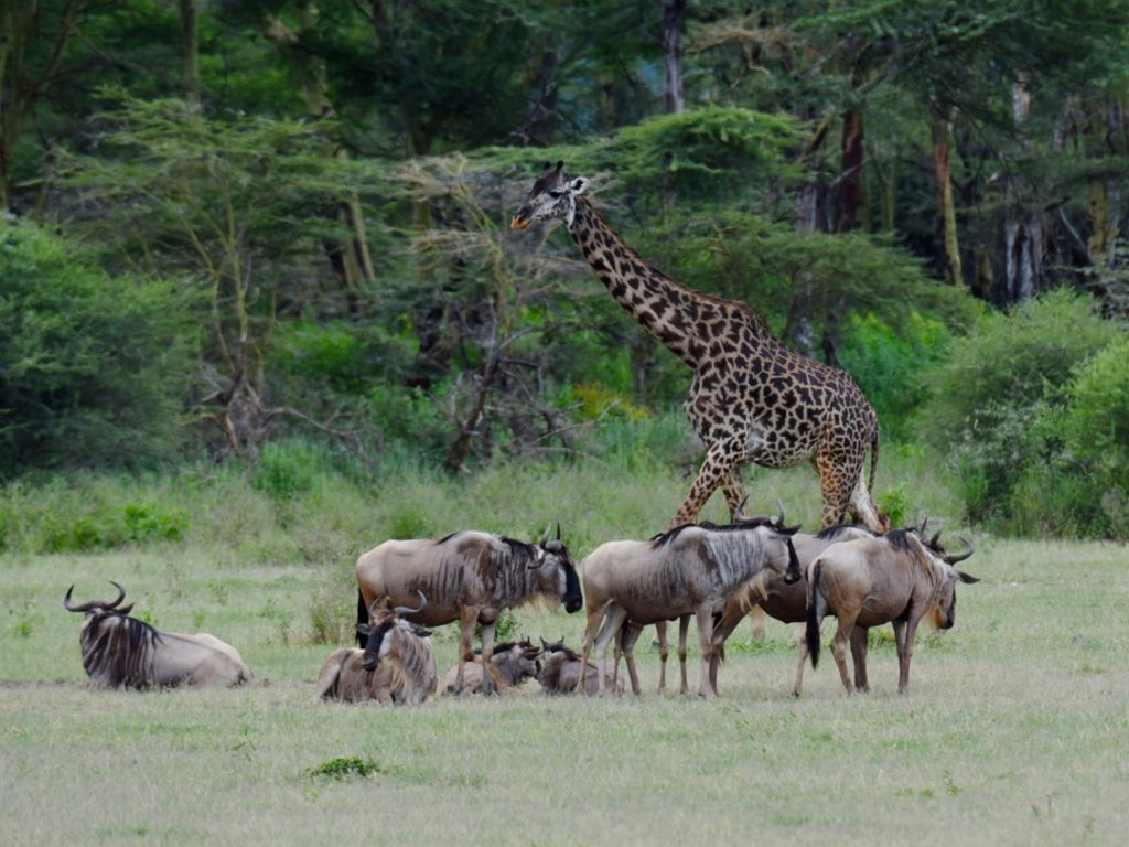 Giraffe and wildebeest  in Lake Manyara national park, Tanzania