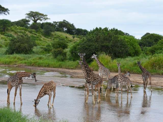 Giraffes in the river in Tarangire, Tanzania