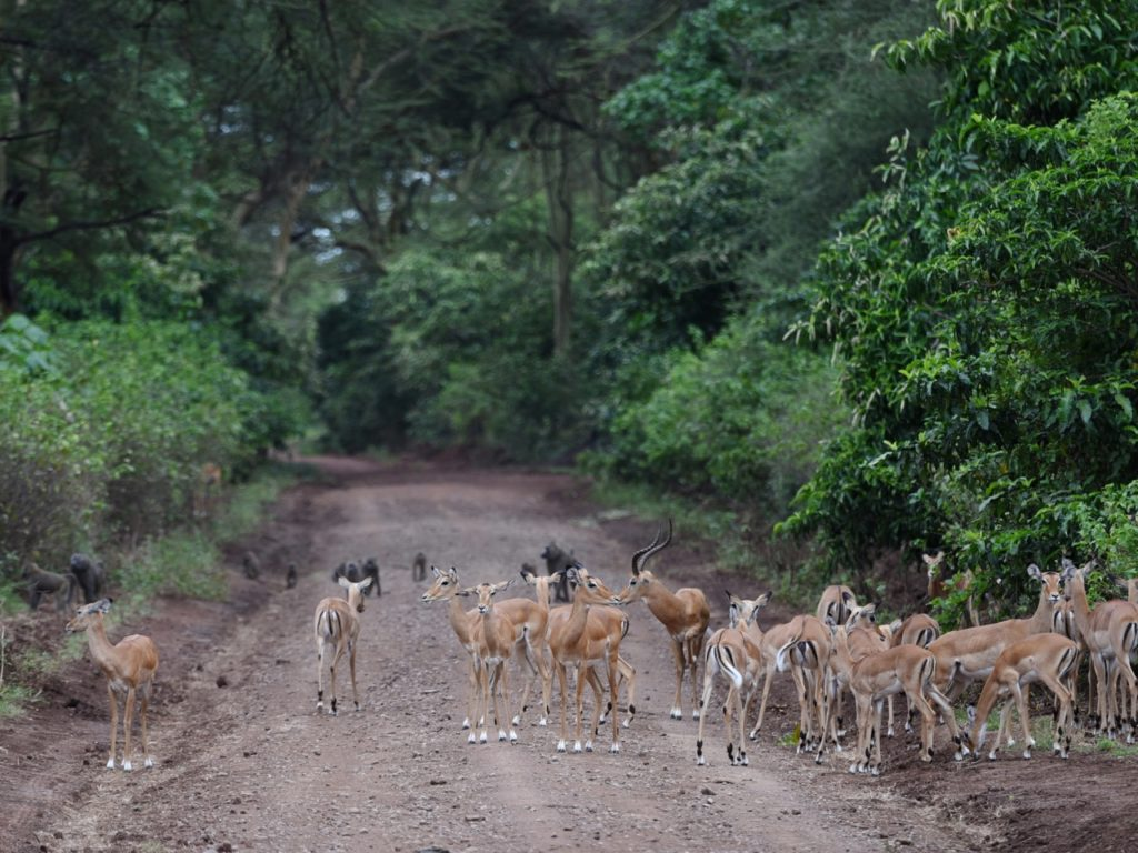 Impala crossing the road in Lake Manyara national park, Tanzania