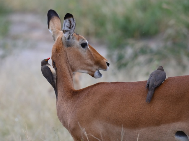 Impala and red-billed oxpeckers in Tarangire, Tanzania