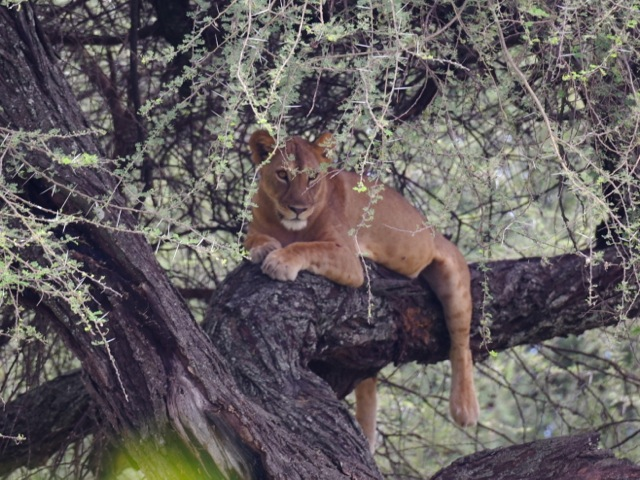 Lion in the tree in Tarangire, Tanzania
