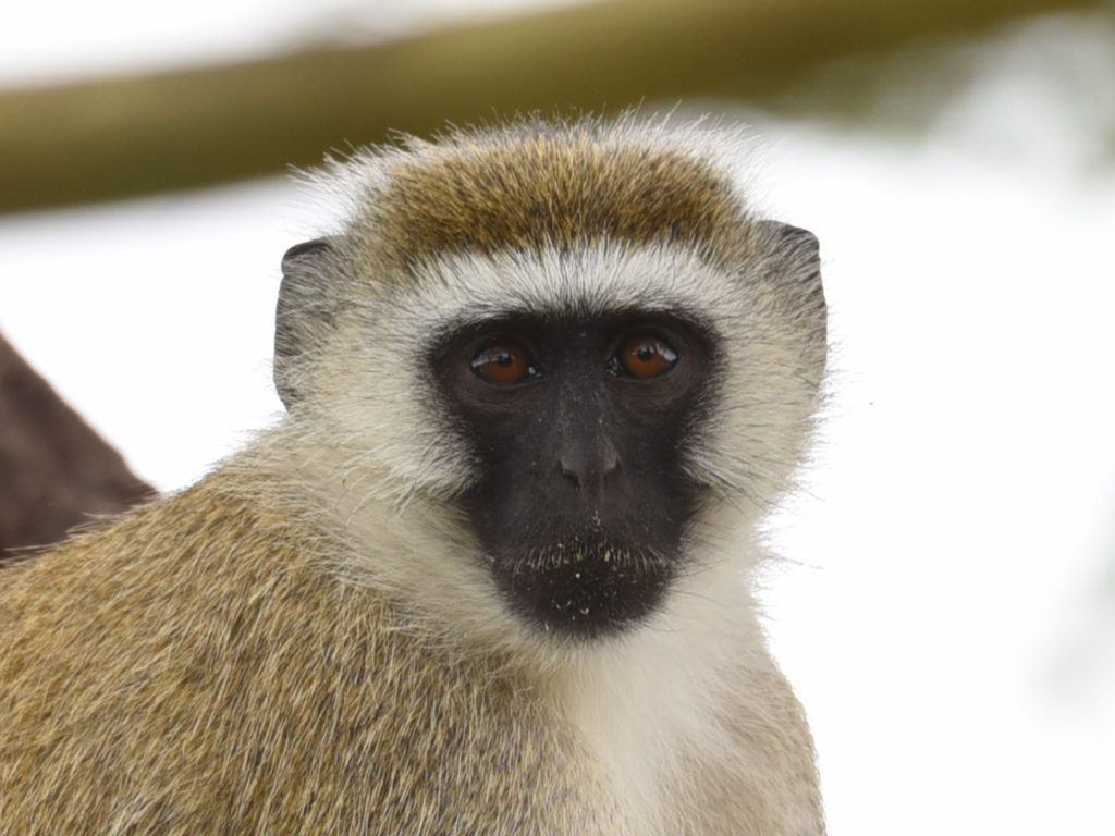 Velvet monkey in Lake Manyara national park, Tanzania