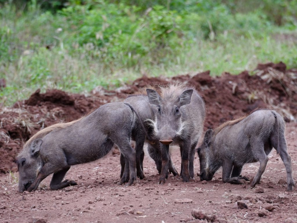 Waterhogs in Lake Manyara national park, Tanzania