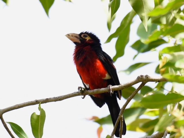 Double-toothed Barbet, Lake Tana, Ethiopia