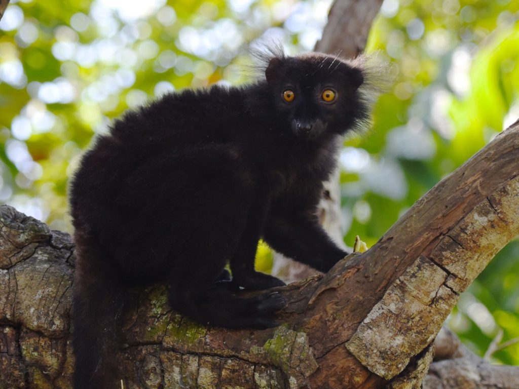 Black lemur male, Lemuria Land, Nosy Be, Madagascar