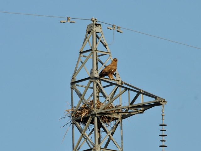 Eagle with a nest on power line, Awash national park, Ethiopia