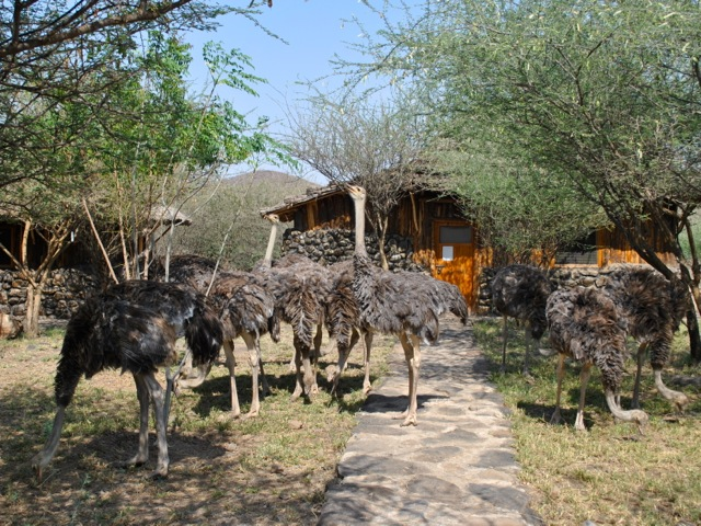 Ostriches at Doho Lodge, near Awash national park, Ethiopia
