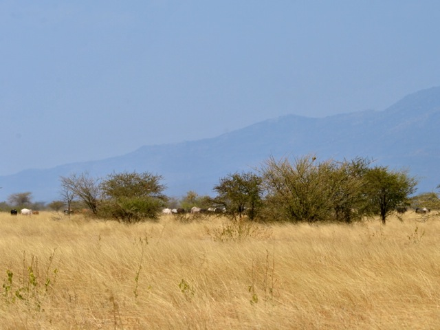 Cattle in the distance in Awash national park, Ethiopia